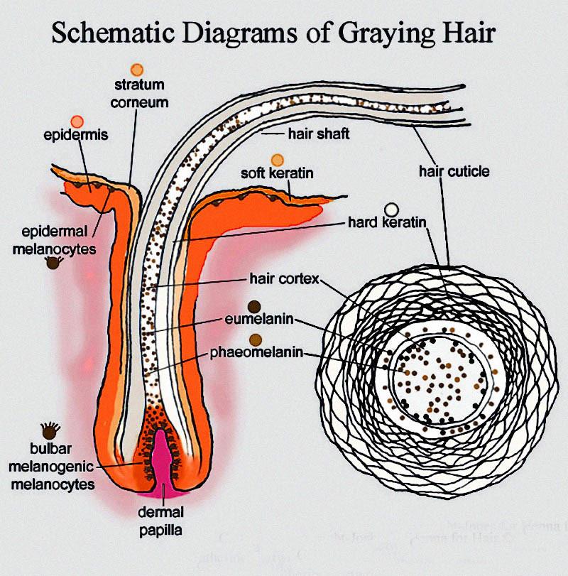 grey hair diagram